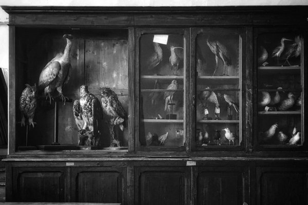 A black and white photograph of stuffed birds displayed in a shelf