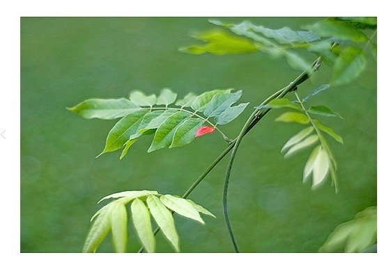 A close-up image of a branch, with one of the leaves colored red