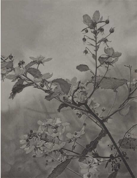Black and white graphite drawing of a close-up plant branch