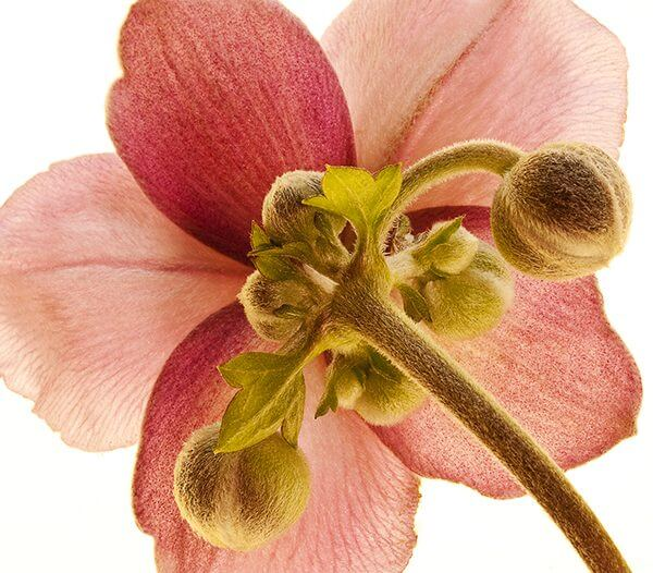 David Quinn, reverse photograph of a flower's petals.