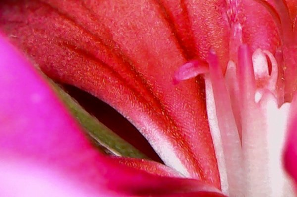 A close up photo of a pink geranium